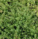 Teppich Thymian Duftkissen - Thymus cherlerioides
