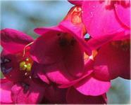 Bergenie Abendglut - Bergenia cordifolia