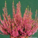 10x Knospenheide Gardengirls Jette - Calluna vulgaris