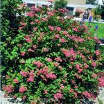 Sommerspierstrauch Froebelii 40-60cm - Spiraea japonica