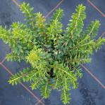 Scheinbeere Itona 20-25cm - Gaultheria Itona