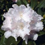 Hochstamm Rhododendron Silberwolke 60-80cm - Alpenrose