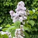 Edelflieder Nadeshda - Kircher-Collection 80-100cm - Syringa vulgaris