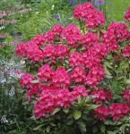 Rhododendron Astrid® 20-25cm - Alpenrose