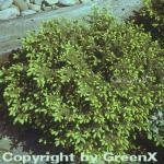 Nestfichte Nidiformis 15-20cm - Picea abies