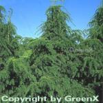 Grüne Adlerschwingeneibe 60-70cm - Taxus baccata Dovastoniana