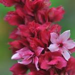 Kerzenknöterich Blackfield - Bistorta amplexicaulis