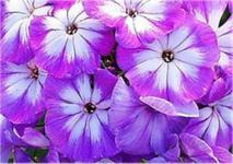 Hohe Flammenblume Wenn schon denn schon - Phlox Paniculata