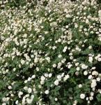 Weißer Hahnenfuß Pleniflorus - Ranunculus aconitifolius