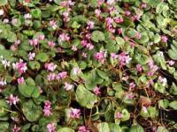 Frühlings Alpenveilchen Rubrum - Cyclamen coum