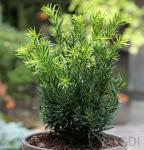 Japanische Zwergeibe Lescow 20-25cm - Taxus cuspidata