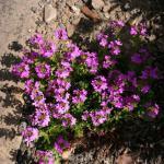 Alpenbalsam - Erinus alpinus