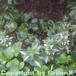 Waldnessel Album - Lamium maculatum
