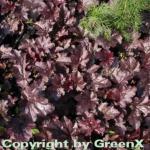 Purpurglöckchen Plum Pudding - Heuchera micrantha