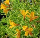 Inkalilie Lutea - Alstroemeria aurea