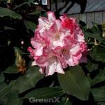 Großblumige Rhododendron Lems Monarch 40-50cm - Alpenrose