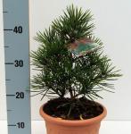 Japanische Schirmtanne Piccola 25-30cm - Sciadopitys verticillata