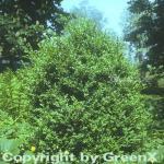 Hoher Buchsbaum 25-30cm - Buxus sempervierens arborescens