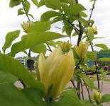 Magnolie Daphne 60-80cm - Magnolia