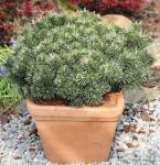 Zwerg Strauchkiefer Noack 40-50cm - Pinus mugo