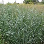 Rutenhirse Prairie Sky - Panicum virgatum