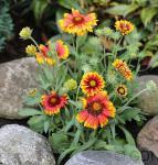 Korkadenblume Arizona Sun - großer Topf - Gaillardia aristata