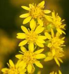 Goldrute Laurin - Solidago virgaurea