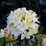 Azalee Daviesii 60-80cm - Rhododendron luteum - Alpenrose
