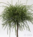 Hochstamm Faden Lebensbaum Whipcord 60-80cm - Thuja plicata