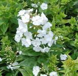 Wiesen Flammenblume Mrs. Lingard - Phlox maculata