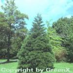 Kalifornischer Mammutbaum 25-30cm - Sequoiadendron giganteum
