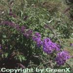 Sommerflieder Nanho Purple 40-60cm - Buddleja