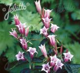 Schwalbenwurz Enzian Pink Swallow - Gentiana asclepiadea