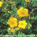 10x Fünffingerstrauch Goldstar - Potentilla fruticosa