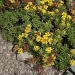 Fetthenne Oracle - Sedum floriferum
