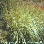 Moor Pfeifengras - großer Topf - Molinia caerulea