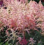 Prachtspiere Bressingham Beauty - Astilbe arendsii