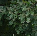 Eiche Crimson Spire 80-100cm - Quercus bimundorum