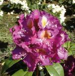 Großblumige Rhododendron Tamarindos 40-50cm - Alpenrose