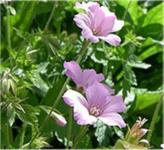 Storchenschnabel Rosenlicht - Geranium oxonianum