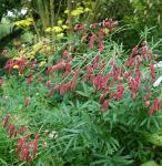 Garten Wiesenkopf Pink Elephant - Sanguisorba tenuifolia
