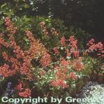 Purpurglöckchen Leuchtkäfer - großer Topf - Heuchera sanguinea