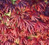 Japanischer Ahorn Tamueyama 60-80cm - Acer palmatum