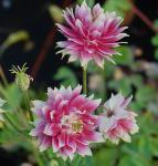 Akelei Nora Barlow - Aquilegia vulgaris