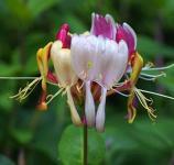 Geißschlinge America Beauty 40-60cm - Lonicera heckrottii