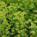 Busch Wolfsmilch - großer Topf - Euphorbia martinii