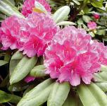 Großblumige Rhododendron Catharine van Tol 25-30cm - Alpenrose