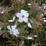 Niedrige Flammenblume Amazing Grace - Phlox subulata