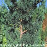 Gartenzypresse Wisselii 25-30cm - Chamaecyparis lawsoniana