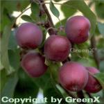 Säulenapfel Maypole 60-80cm - dunkelrote Früchte